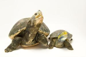 Critically endangered red crowned roofed turtles by Joel Sartore