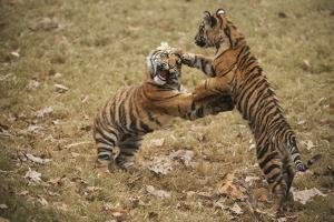 Critically-endangered Sumatran Tiger Cubs, Panthera Tigris Sumatrae by Joel Sartore