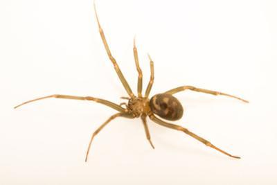 Cupboard spider, Steatoda grossa, at the Exmoor Zoo. by Joel Sartore