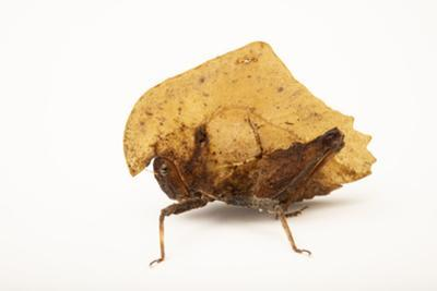 Dead leaf mimic grasshopper, from Mt. Makiling forest in Luzon, Philippines. by Joel Sartore