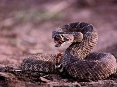 Diamondback Rattlesnake (Crotalus Atrox) by Joel Sartore
