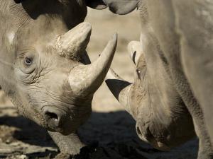 Eastern Black Rhinoceros from the Sedgwick County Zoo, Kansas by Joel Sartore