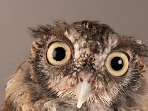 Eastern Screech Owl, Lincoln, Nebraska by Joel Sartore