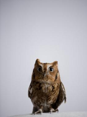 Eastern Screech Owl, Otus Asio by Joel Sartore