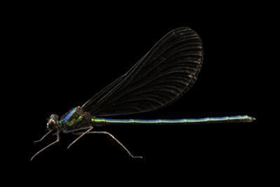 Ebony jewelwing damselfly, Calopteryx maculata by Joel Sartore