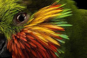 Edward's fig parrot, Psittaculirostris edwardsii, at Loro Parque Fundacion. by Joel Sartore