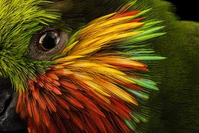 Edward's fig parrot, Psittaculirostris edwardsii, at Loro Parque Fundacion. by Joel Sartore