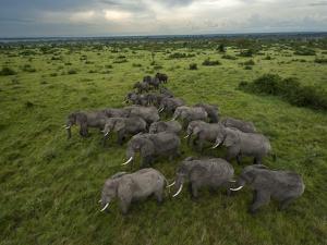 Elephants have miles of savanna to roam inside Queen Elizabeth Park. by Joel Sartore