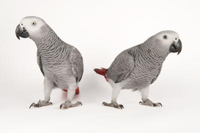 Endangered African Grey Parrots, Psittacus Erithacus Erithacus, at Parrots in Paradise by Joel Sartore