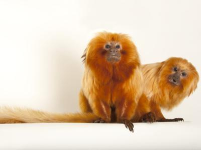 Endangered Golden Lion Tamarins, Leontopithecus Rosalia, at the Lincoln Children's Zoo by Joel Sartore