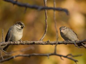 English Sparrows (House Sparrows) in Lincoln, Ne by Joel Sartore