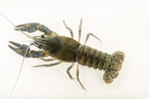 European crayfish, Astacus astacus, at Alpenzoo in Innsbruck, Austria. by Joel Sartore