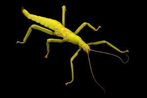 Female giant lime green stick insect, Diapherodes gigantea, at the Exmoor Zoo. by Joel Sartore