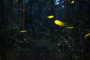 Fireflies in flight in the forest at Piedra Canteada. by Joel Sartore