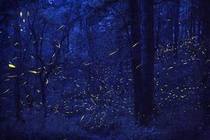 Fireflies in flight in the forest at Santa Clara Sanctuary. by Joel Sartore
