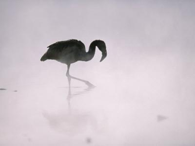 Flamingo Wades in a Thermal Hot Spring in Chiles Atacama Desert by Joel Sartore