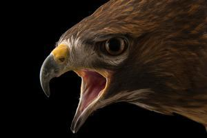 Florida Red Tailed Hawk, Buteo Jamaicensis Umbrinus, at the Conservancy of Southwest Florida by Joel Sartore