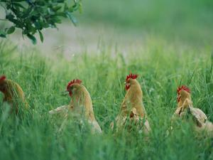 Four Buff Orpington Hens in Tall Grass by Joel Sartore