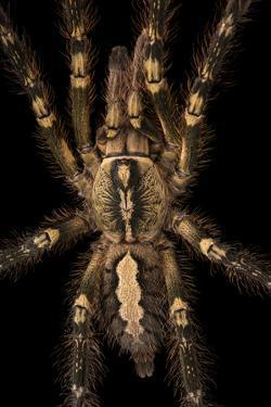 Fringed ornamental tarantula, Peocilotheria ornata by Joel Sartore