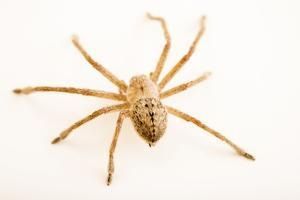 Giant crab spider, Olios fasciculatus by Joel Sartore
