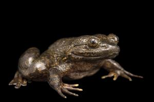 Giant slippery frog, Conraua robusta, from the wild. by Joel Sartore