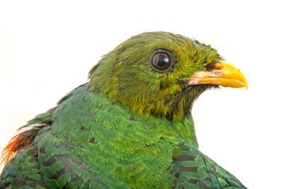 Golden Headed Quetzal, Pharomachrus Auriceps, from a Private Collection