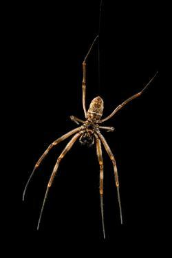 Golden silk orb weaver spider, Nephila edulis, at the Budapest Zoo. by Joel Sartore