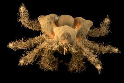 Golf ball crab, Rhinolithodes wosnessenskii, at the Aquarium of the Pacific. by Joel Sartore