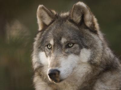 Gray Wolf at the Rolling Hills Wildlife Adventure by Joel Sartore