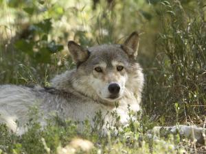 Gray Wolf in Montana by Joel Sartore