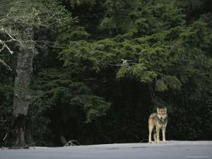 Gray Wolf on Shore by Joel Sartore