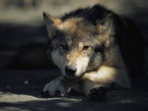 Gray Wolf by Joel Sartore