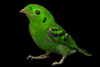 Green Broadbill, Calyptomena Viridis, from a Private Collection
