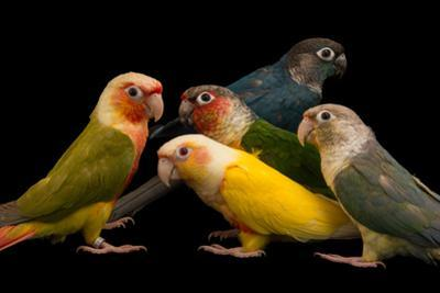 Green cheeked parakeets from a private collection. by Joel Sartore