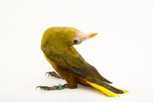 Green Oropendola, Psarocolius Viridis, from a Private Collection by Joel Sartore