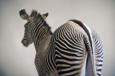 Grevy's Zebra at the Lee G Simmons Conservation Park and Wildlife Safari by Joel Sartore