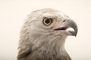 Grey Headed Fish Eagle, Ichthyophaga Ichthyaetus by Joel Sartore