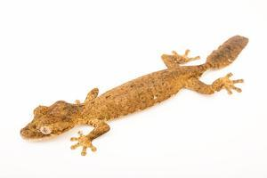 Guenther's leaf tail gecko, Uroplatus guentheri, from a private collection. by Joel Sartore