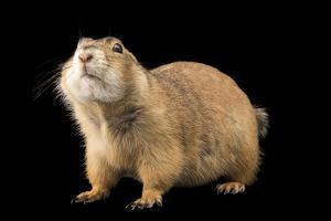 Gunnison's prairie dog, Cynomys gunnisoni, at Liberty Wildlife. by Joel Sartore
