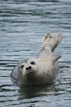 Harbor Seal in Katmai National Park. by Joel Sartore