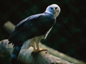 Harpy Eagle (Harpia Harpyja) by Joel Sartore