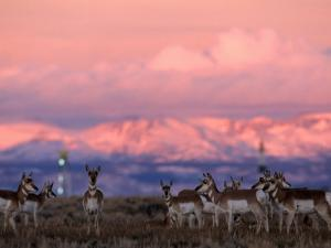 Herd of Pronghorns Graze Near Gas Drilling Rigs Sunset, Pinedale, Wyoming by Joel Sartore