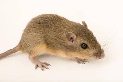 Hispid pocket mouse, Chaetodipus hispidus by Joel Sartore