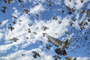 Homing pigeons flying over Brooklyn, New York. by Joel Sartore