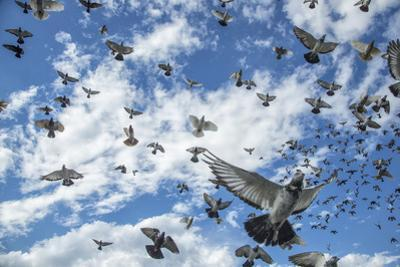 Homing pigeons flying over Brooklyn, New York. by Joel Sartore