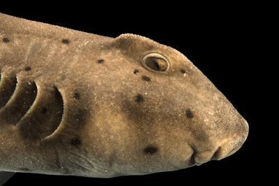 Horned shark, Heterodontus francisci by Joel Sartore