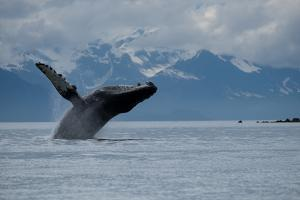 Humpback Whale in Glacier Bay National Park. by Joel Sartore