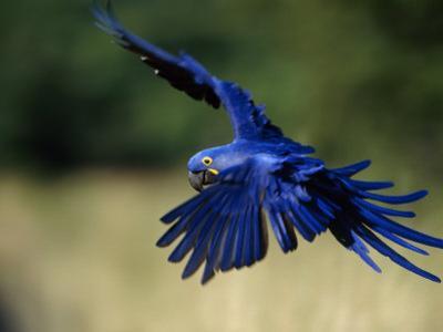 Hyacinth Macaw in Flight by Joel Sartore