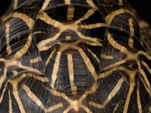 Indian Star Tortoise at the Sunset Zoo, Kansas by Joel Sartore