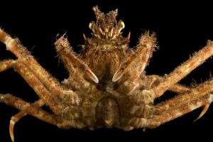 Japanese spider crab, Macrocheira kaempferi, at the Aquarium of the Pacific. by Joel Sartore